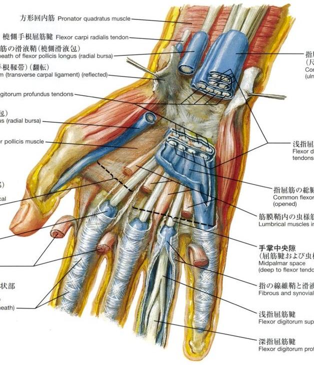 指の屈筋腱鞘