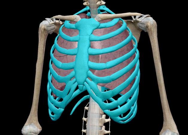 胸郭を強調した骨格