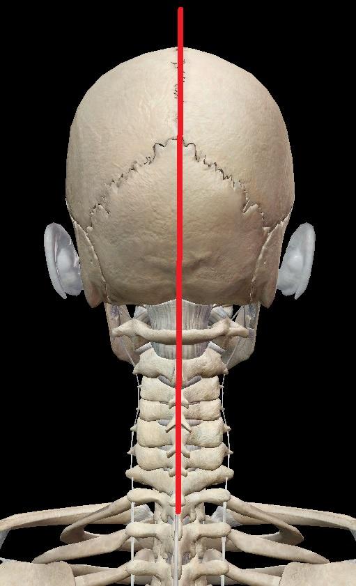 正しい頸椎の状態 前額面